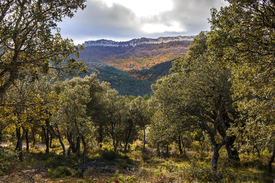San Zadornil 02. Quercus ilex